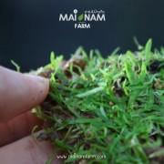 A014-Utricularia-graminiafolia-01