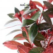 A016-Ludwigia-glandulosa-01