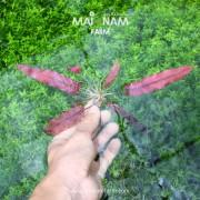 A024-Barclaya-longifolia-01
