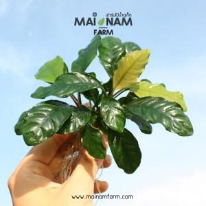 A032-Anubias-coffeefolia-01