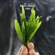 A037-Microsorum-narrow-leaf-01