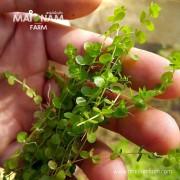 A04 Micranthemum umbrosum-01