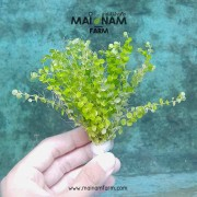 A04 Micranthemum umbrosum-03
