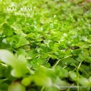 A04Micranthemum umbrosum-02