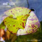 Tiger Lotus (Nymphaea lotus)บัวเสือลายน้ำตาล