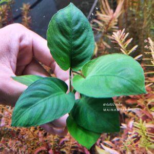 anubias broad leaf