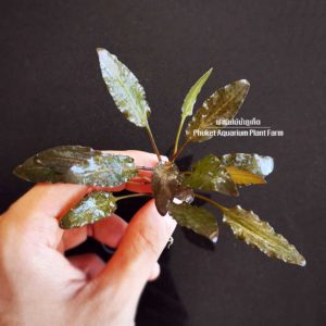 cryptocoryne brown