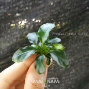 Anubias nana wavy - อนูเบียสเล็กใบหยัก