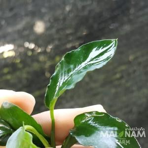 anubias-nana-wavy-leaf