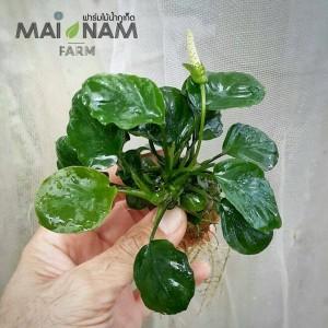anubias round leaf - อนูเบียสใบกลม