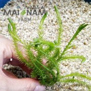 A63-Mayaca fluviatilis  มายาค่า