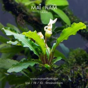 A67-Bucephalandra Wavy Green