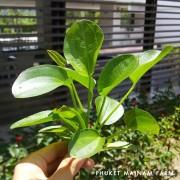amazon round leaf
