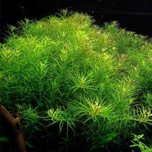 Rotala-Nanjenshan-Aquatic-plant
