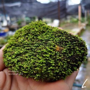 moss on rock size L